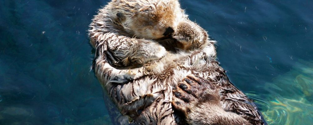A Jet Lagged Sea Otter